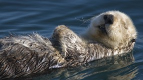 Обои Калан в воде: Вода, Спит, Калан, Прочие животные