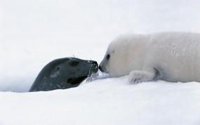 Обои Два тюленя: Снег, Тюлени, Поцелуй, Прочие животные