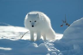 Белый песец