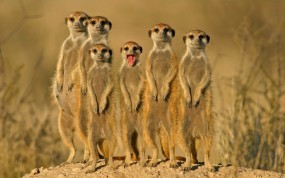 Обои Сурикаты: Бандана, Зверьки, Сурикаты, Группа, Прочие животные