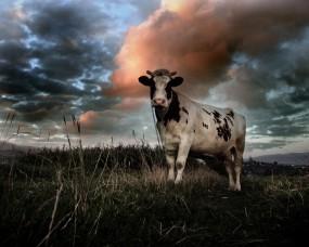 Обои Корова на поле: Облака, Поле, Корова, Прочие животные