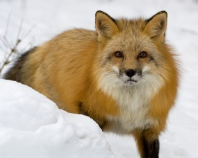 Обои Лиса зимой: Зима, Снег, Лиса, Прочие животные
