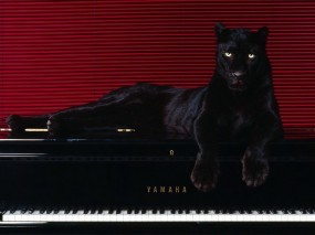 Обои Пантера на рояле: Линии, Пантера, Рояль, Прочие животные
