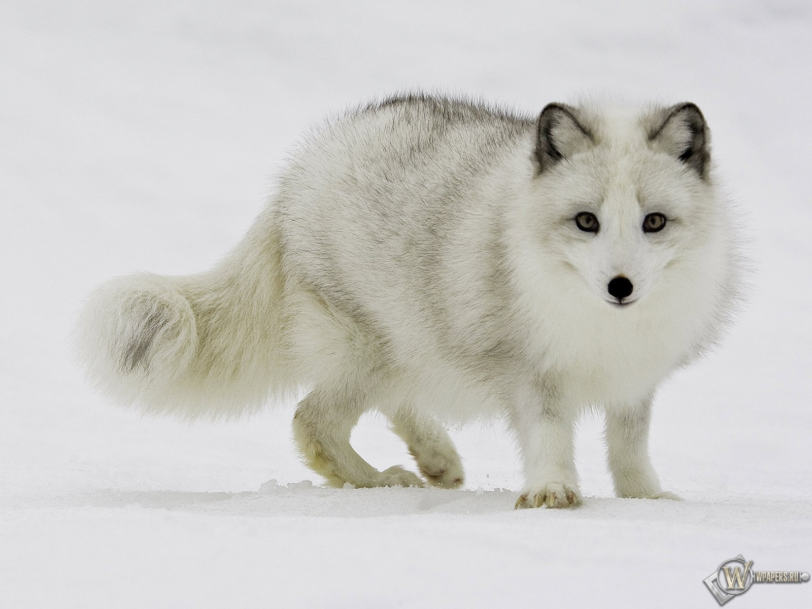 Белый песец на снегу 1600x1200