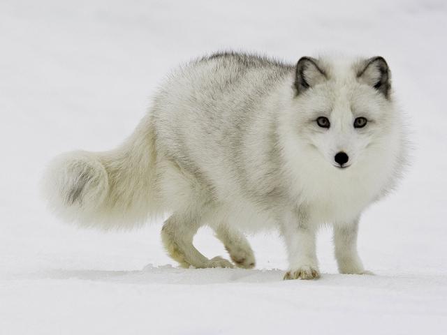 Белый песец на снегу