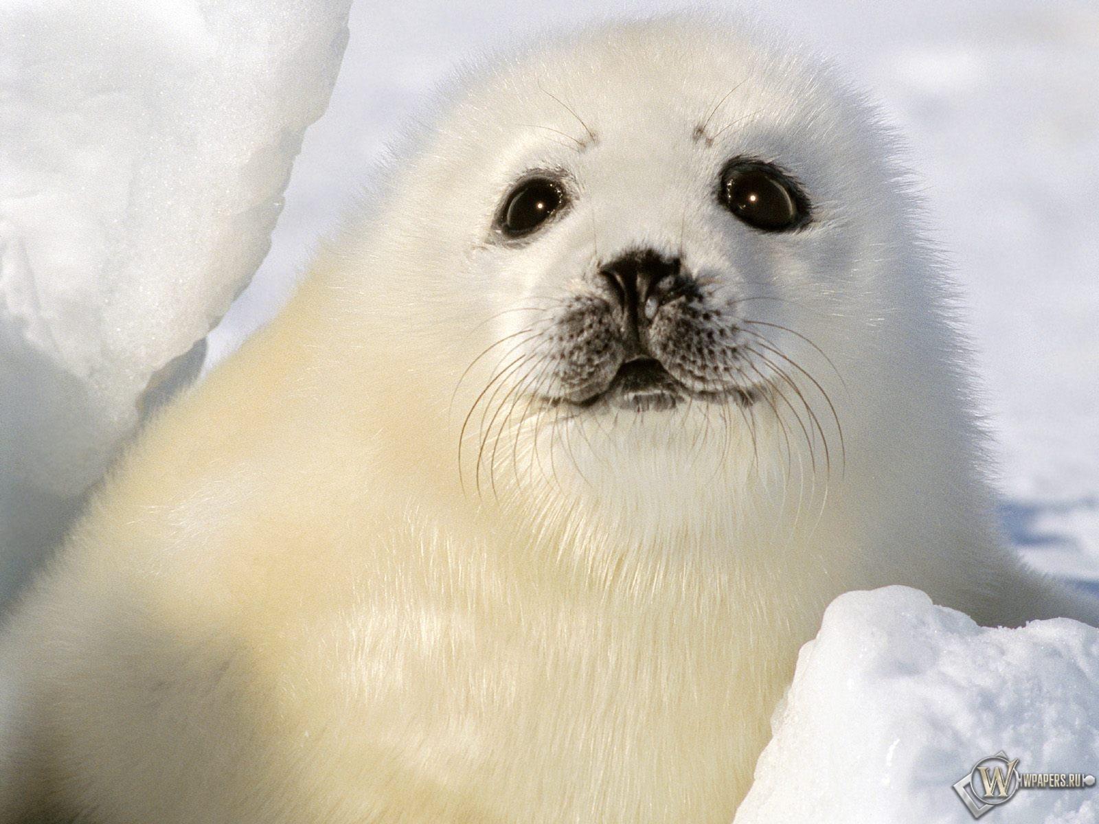 Белый тюлень 1600x1200