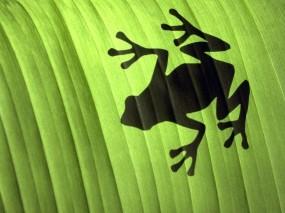 Обои Лягушка: Лист, Тень, Зелёный, Лягушка, Прочие животные
