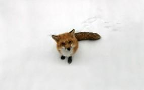 Обои Лиса: Снег, Лиса, Детеныш, Лисёнок, Прочие животные