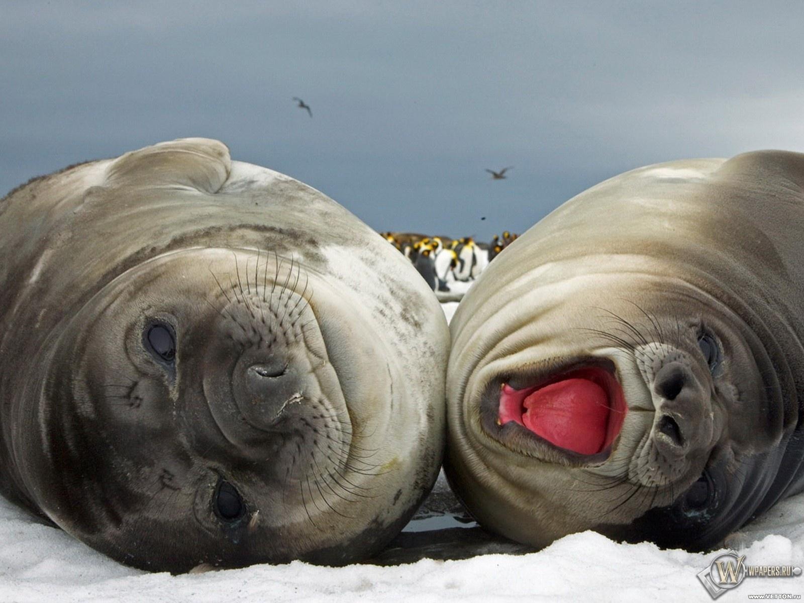 Тюлени 1600x1200