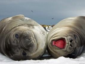 Обои Тюлени: Зима, Снег, Тюлени, Прочие животные