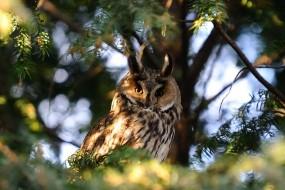 Обои Ушастая сова: Взгляд, Дерево, Сова, Прочие животные