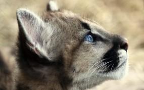 Обои Рысёнок: Рысь, Рысёнок, Прочие животные