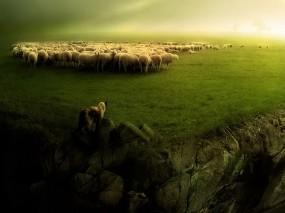 Обои Волк и овцы: Волк, Овцы, Прочие животные