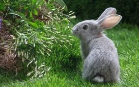 Обои Серый кролик: Серый, Кролик, Зайцы