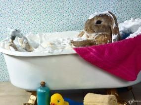 Обои Кролик принимает ванну: Кролик, Ванна, Зайцы