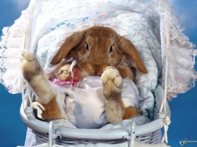 Обои Зайчик в коляске: Кролик, Коляска, Зайцы