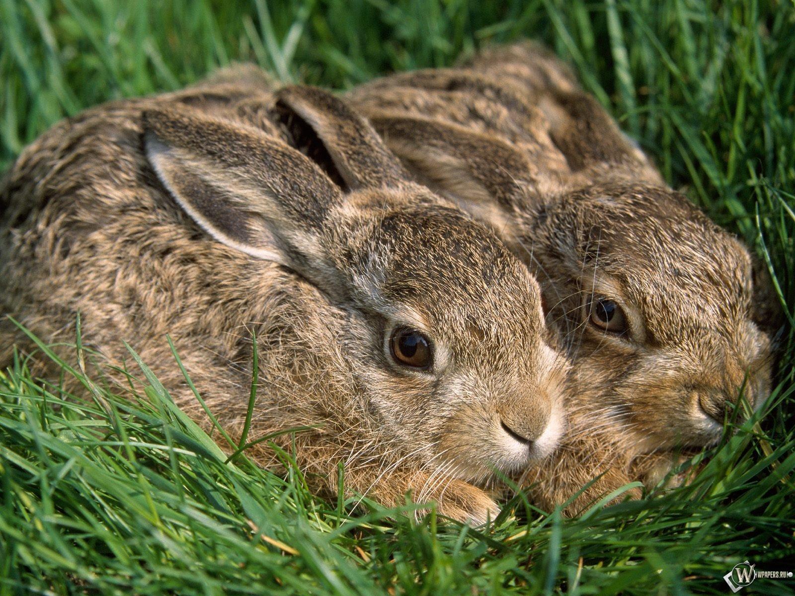 Два кролика 1600x1200