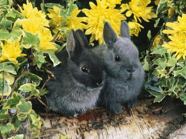 Два черных кролика