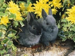 Обои Два черных кролика: Кролики, Зайцы