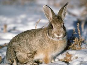 Обои Заяц-русак на снегу: Снег, Заяц, Зайцы