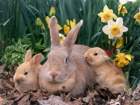 Обои Крольчиха с крольчатами: Кролики, Зайцы