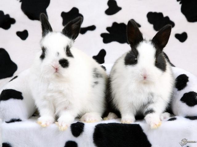 Кролики-далматинцы