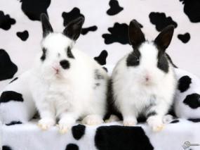 Обои Кролики-далматинцы: Кролики, Далматинцы, Зайцы
