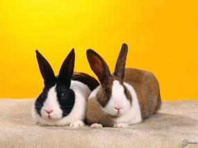 Обои Два кролика: Кролики, Зайцы