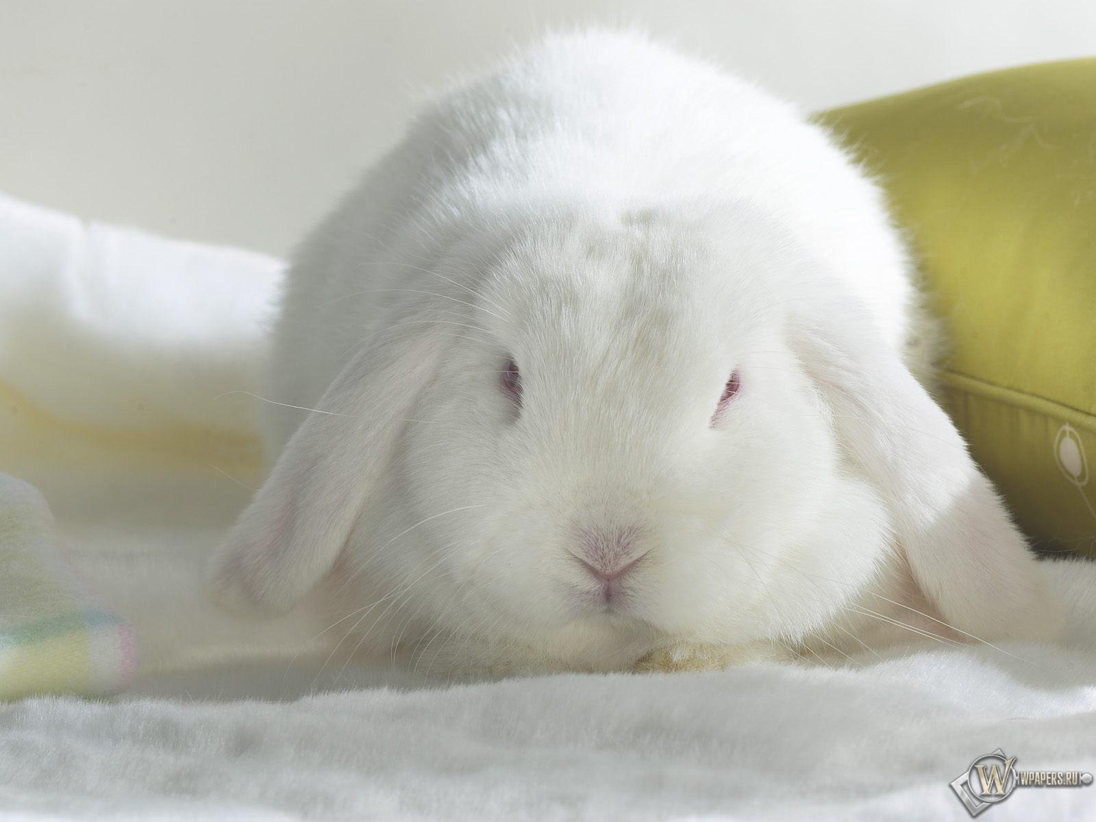 Белый кролик 1600x1200