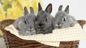 Обои Кролики в корзинке: Корзинка, Кролики, Зайцы