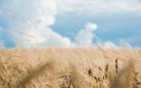 Обои Ржаное поле: Поле, Небо, Колос, Природа