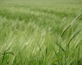 Зелёное поле пшеницы