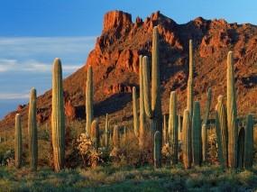 Обои Кактусы Аризоны Каньон Аламо: Аризона, Кактусы, Природа