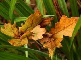 Обои Дубовые листья: Осень, Листья, Дуб, Природа