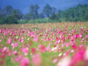 Обои Поле цветов: Цветы, Лето, Весна, Природа
