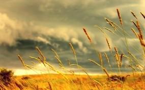 Обои Ржаное поле: Поле, Желтый, Рожь, Природа