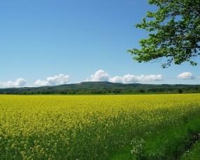 Обои Цветущее поле: Поле, Цветы, Желтый, Природа