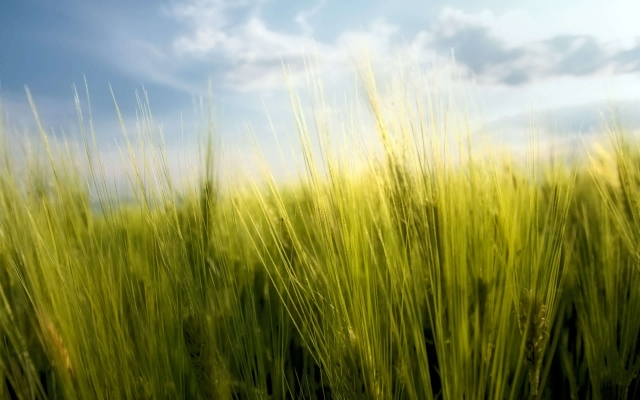 Весенняя пшеница