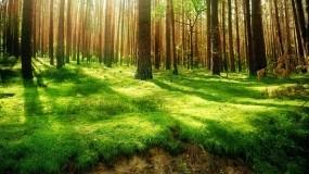 Обои Под пологом леса: Лес, Деревья, Сосны, Трава, Природа