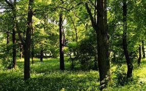 Обои Лес: Зелень, Деревья, Лето, Природа