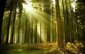 Обои Солнце в лесу: Лес, Деревья, Вечер, Лучи, Лето, Природа