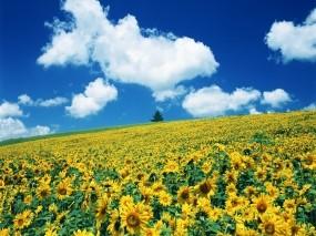 Обои Подсолнухи: Поле, Небо, Подсолнухи, Природа