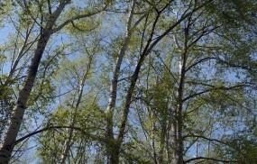 Обои Тополя: Деревья, Весна, Природа