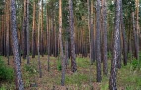 Обои Сосны: Лес, Сосна, Природа