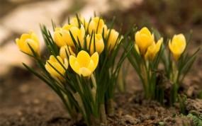 Обои Жёлтые крокусы : Природа, Цветы, Желтый, Природа