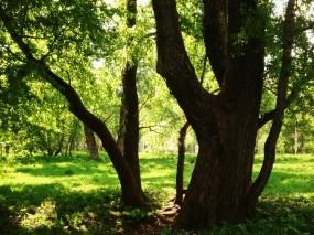 Обои Зеленые Деревья: Зелень, Деревья, Парк, Природа