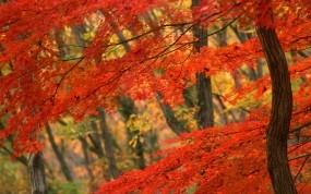 Обои Японская осень: Осень, Дерево, Япония, Осень