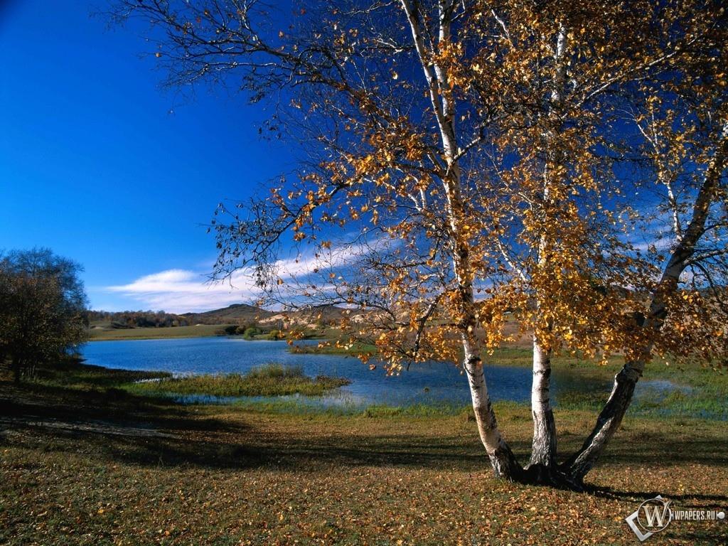 Осенняя береза 1024x768