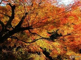 Обои Осенний клен: , Осень