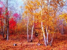 Обои Багрец и золото: Осенний лес, Золотая листва, Осенняя пора, Берёзки, Листья, Октябрь, Осень